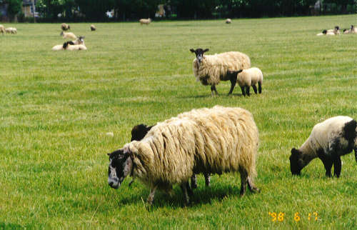 sheep.jpg (35622 bytes)